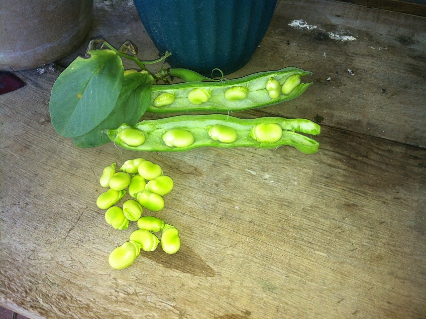 how to cook fava beans in pods