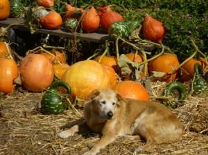 Murphy and the pumpkins!
