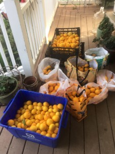 Thanks to all our friends that filled our porch with Meyer Lemons.