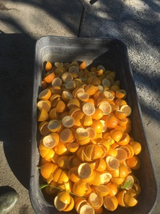 Wagon full of squeezed Meyer Lemons