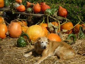Murphy and the pumpkins!